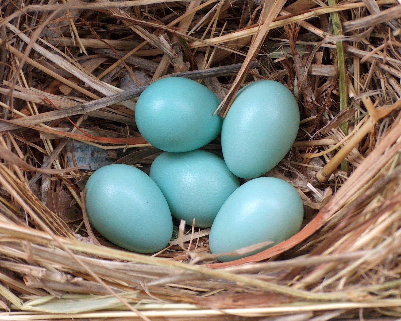 Какие птицы и породы кур несут сине-голубые яйца