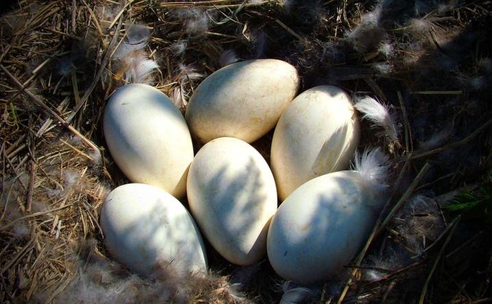 Гнездо в гусиными яйцами