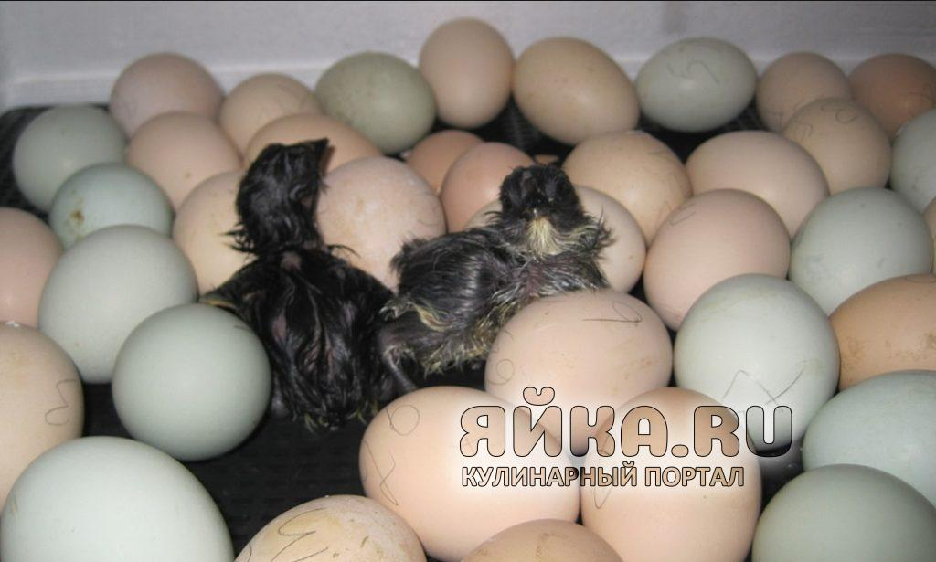 Как вывести цыплят дома: правила искусственной инкубации