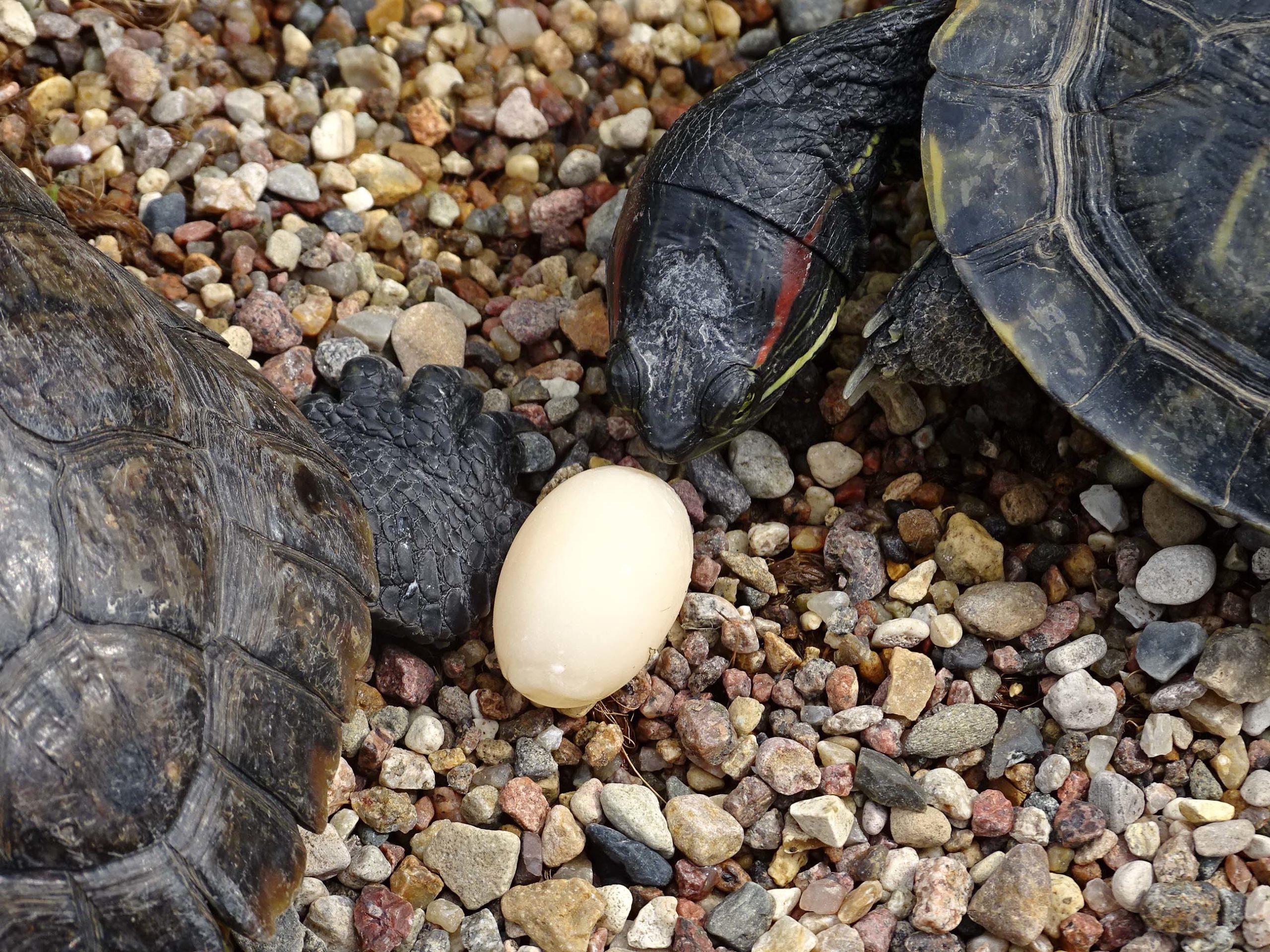 яйца черепах