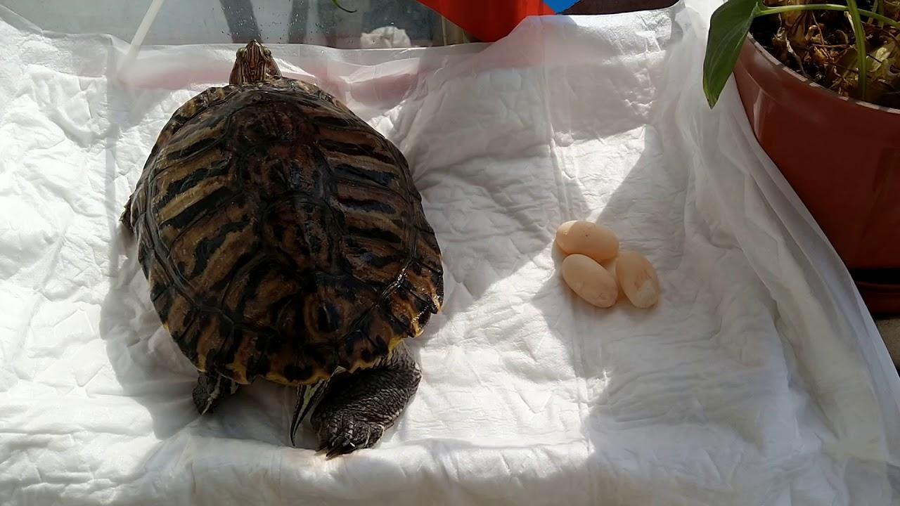 Яйца черепахи: как происходит кладка, их польза и вред при употреблении в пищу